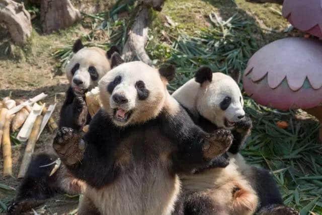全球唯一的大熊猫三胞胎